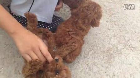 泰迪幼犬玩耍1