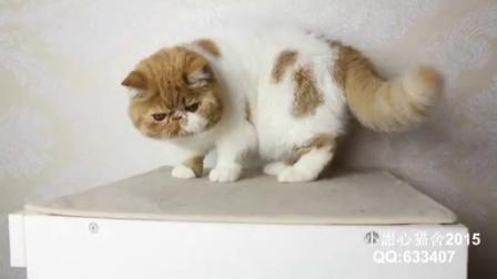 CFA注册赛级包子脸红白高白异国短毛猫MM