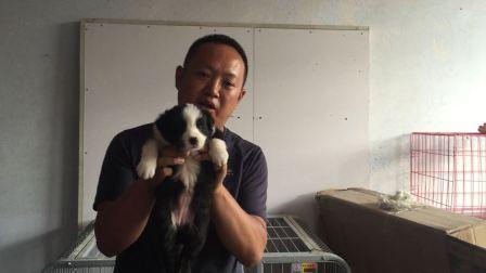 边牧幼犬 编号:0915-AL1号母