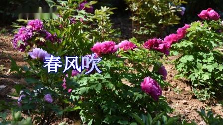春风吹开牡丹花.mp4