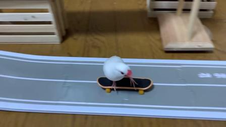 スケボーで遊ぶ文鳥7【Skater of Java sparrow】