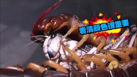 怪兽来了75期.巨型蜈蚣竟然活吞大蛇