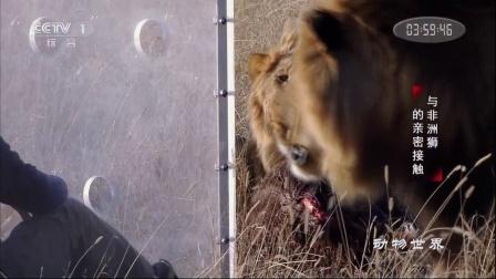 与非洲豹的亲密接触 动物世界 171221