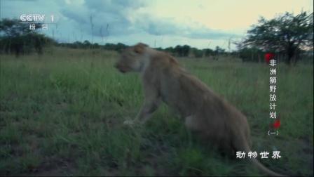 非洲狮野放计划(一) 动物世界 171229