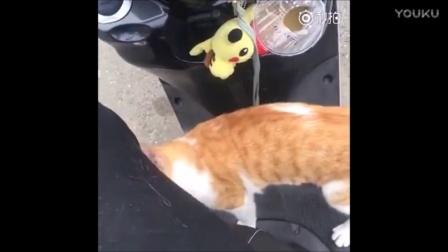 妹纸在路上骑电动车直接被橘猫打劫, 还跳到腿上要抱抱