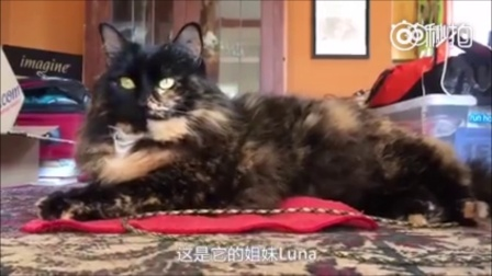 猫的颜值能低到什么程度? 主人给家里的猫咪剃了毛之后, 结果受到了另一只的强烈鄙视!