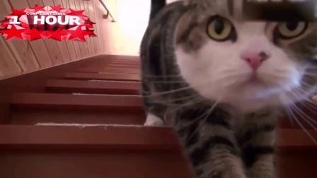肥猫Maru的那些蠢萌瞬间, 最爱这个大脸猫