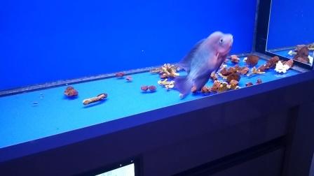 我的红马罗汉鱼。