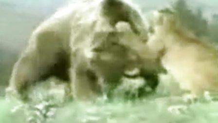 灰熊和狮子PK