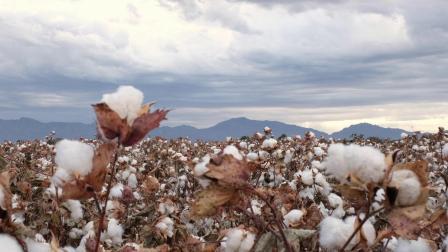 开云集团——新墨西哥州可溯源有机棉