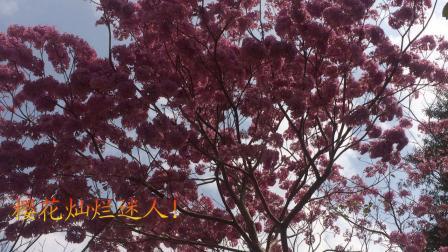 春游樱花园(190206)
