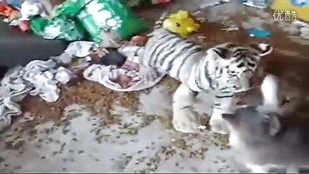 猫遇上老虎。真实版_标清