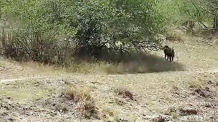 国外实拍狒狒驱赶狮子...可是...惨!!!