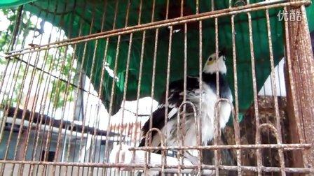 朋友家的长寿鸟养了很久