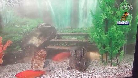 【拍客】金鱼
