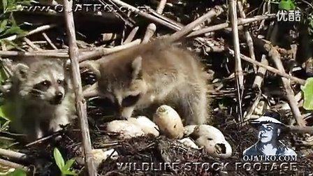 浣熊偷鳄鱼蛋的下场