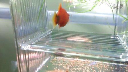 鱼妈妈生鱼宝宝视频