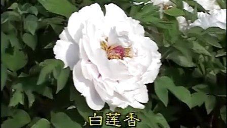 菏泽牡丹品种欣赏--白色系
