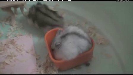 【拍客】超可爱的鼠鼠 MTV