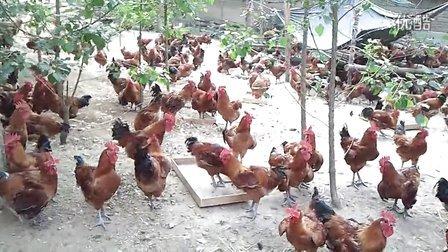天源土鸡养殖专业合作社
