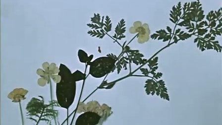 关于一朵花的歌 【格鲁吉亚】奥塔 埃索里尼亚