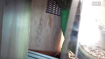 绿鬣蜥(大宝贝西西)