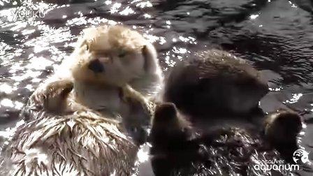 温哥华水族馆可爱海獭Milo和Tanu牵手