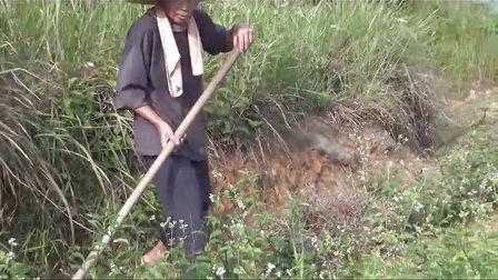 有机茶园锄草、盖草的高产栽培技术示范