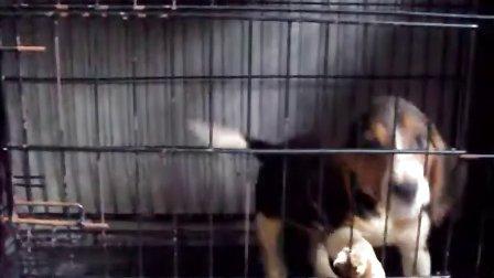 比格猎兔犬 视频