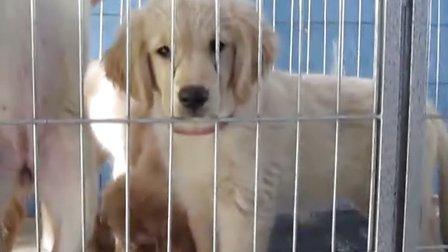 济南出售金毛幼犬