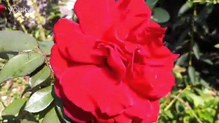 9月份的玫瑰花