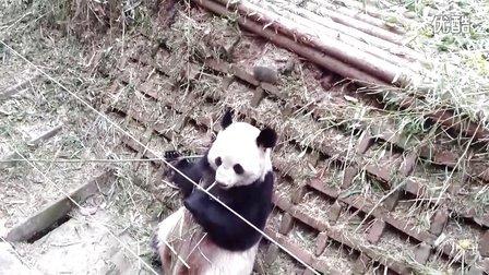 熊猫 吃竹子 可爱的模样(高清影片)