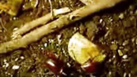 甲蟲大戰Beetle-#39-s_Fight