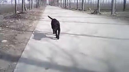 MOV_拉布拉多犬毛毛