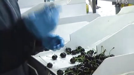 新西兰打工旅行 - 樱桃工