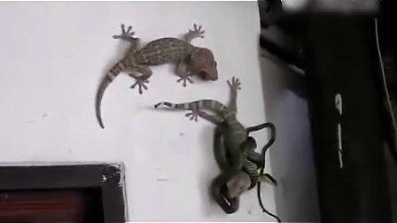 实拍壁虎冒死营救被蛇咬住同伴 朋友当如此.