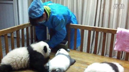 超级萌!!!小熊猫真不消停!!!
