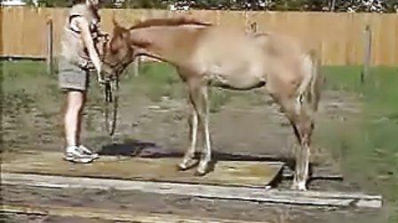 马术马匹调教幼马调教