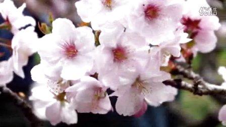 《樱花雨》关注我的抖音号1886995038 以后视屏发抖音
