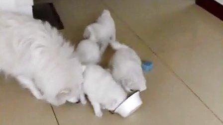 晋城--小狗狗萨摩耶吃饭