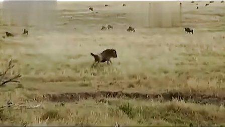 实拍-两角马遭袭后合力顶飞美洲豹