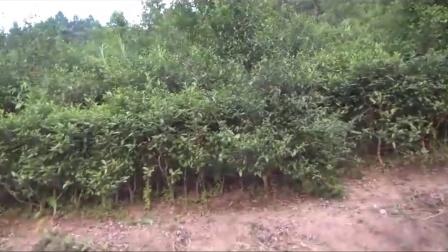 全生态有机茶园栽培技术示范1