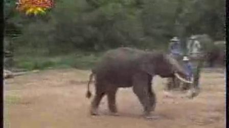 大象踢球如此准确