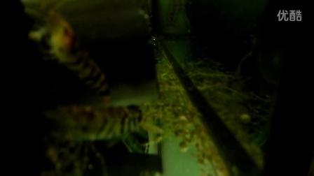 金丝鱼   录像
