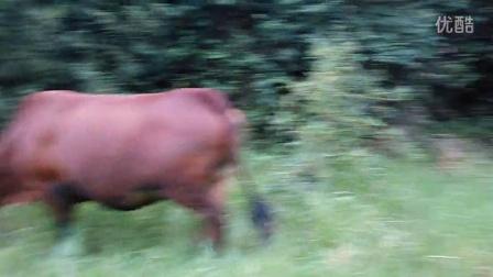 可怕的杀牛