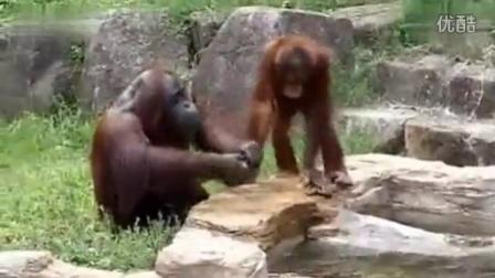 搞笑猩猩用毛巾擦脸 洗完毛巾还知道拧干