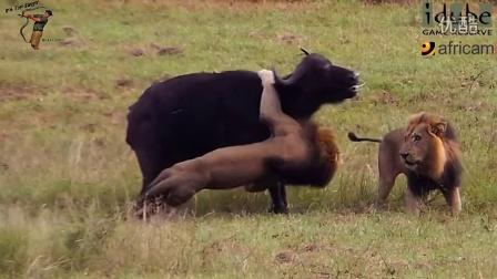 狮子与野牛