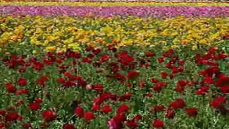 A021五颜六色绚丽繁花樱花