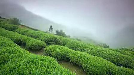 T002茶山茶园风光采茶镜头农业类