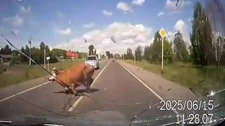 卧槽吓尿了!开车路上突然撞上一头牛